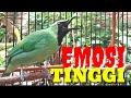 Cucak Ijo Gacor Mancing Emosi Cak Ijo Lain Bongkar Isian Pancingan Dan Masteran  Mp3 - Mp4 Download