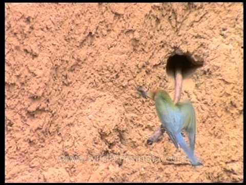 Flight of the Bee-eater: a short film