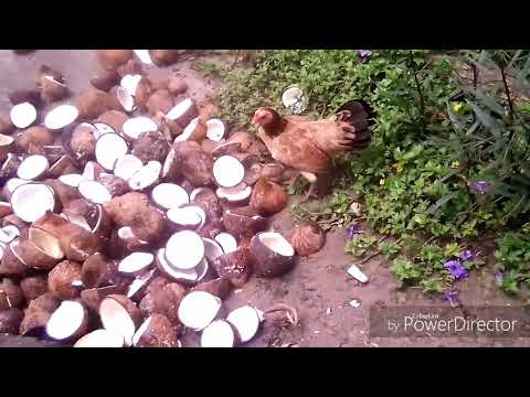 Bali Docu - How to produce coconut oil