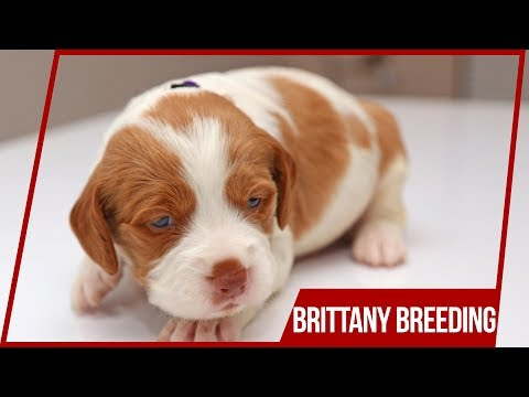 Puppies in the House or Why I Breed Brittany Dogs 🐶😱