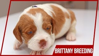 Puppies in the House or Why I Breed Brittany Dogs