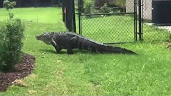 Gator creates quite a scene in Port St. Lucie