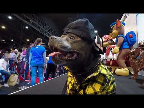 Hendrix the Staffy at The Dog Lovers Show Sydney 2018