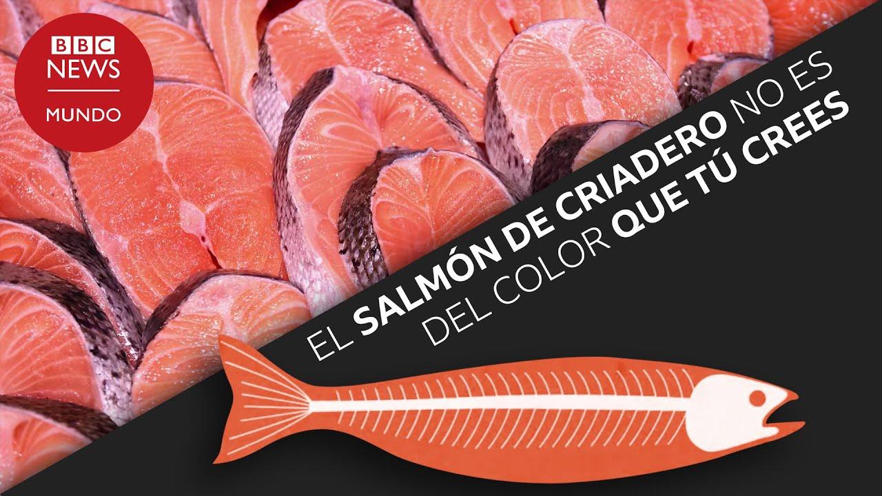 El salmón de criadero no es del color que tú crees