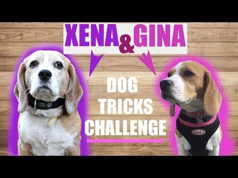Dog Tricks challenge...Бигль Джина и Бигль Хена