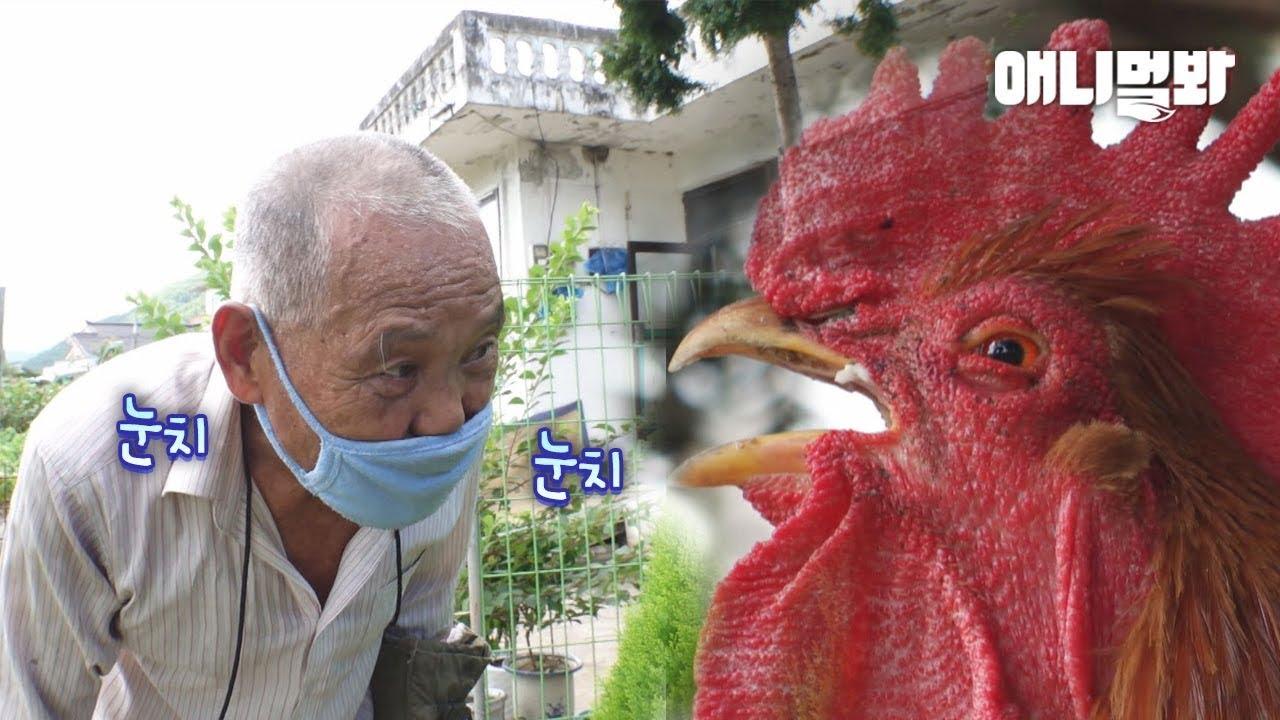 할아버지가 자기 여자친구를 뺏어갔다고 생각한 수탉.. 그런데 말입니닭ㅣWhat Rooster Done Next When He Thought Grandpa Stole His G.F.