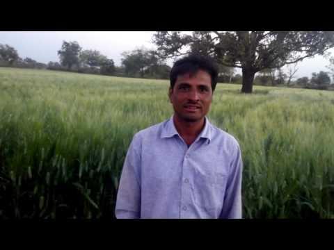 Deshi bansi wheat zero budget natural farming khargone
