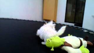 "West Highland White Terrier ""fluqui"""