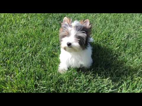 Rocky Mountain Biewer Terriers Sir Phoenix is available.