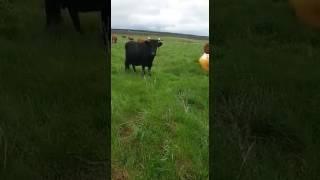 Коровы на лугу. Смешное видео. Татары поймут.