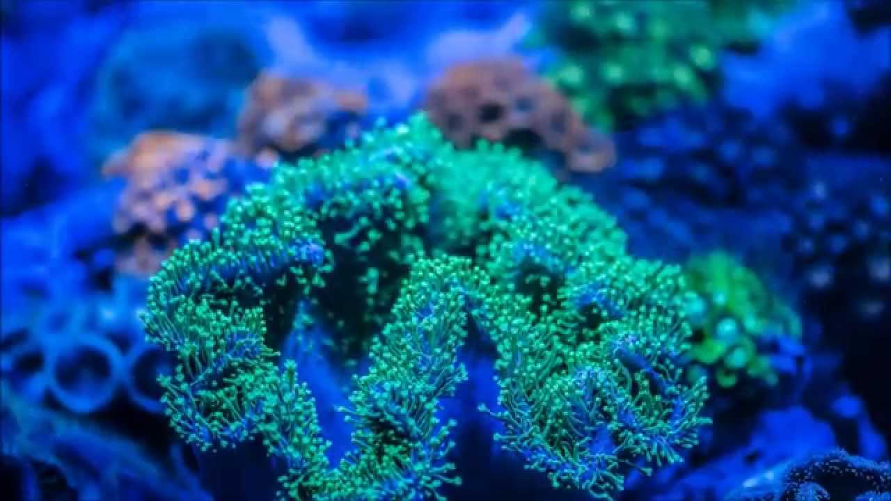 Green, long polyp leather coral, extension ,time lapse ...
