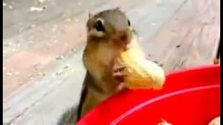 Squirrels Eating Peanuts, They are too hungry