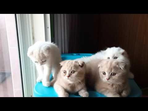 Scottish fold Gang#Manekineko Cattery#Cats#Cute