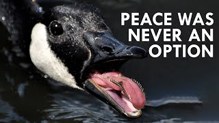 Geese: Peace Was Never an Option