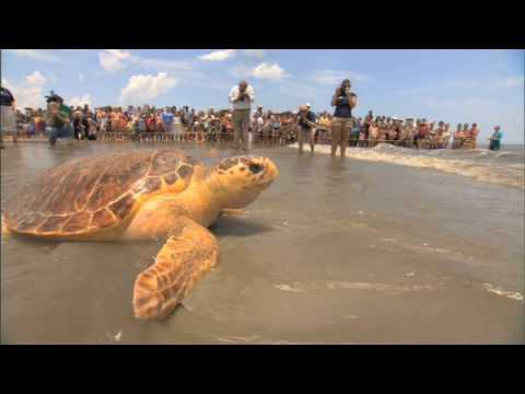 Sea Turtle Release on Jekyll Island
