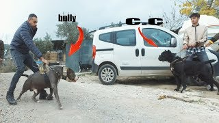 CANE CORSO VS WITH THE AMERICAN BULLY KING DID NOT REVERSE