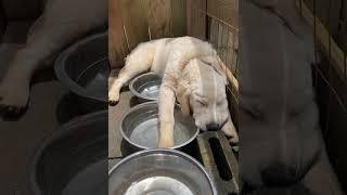 Labrador Dog Sleeps In Strange Place #shorts