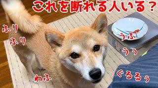 凄い控えめに吠えたり唸って要求する柴犬を断れますか? shiba inu