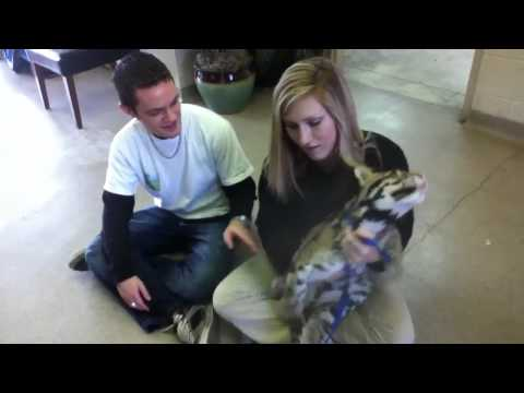 Petting a clouded leopard