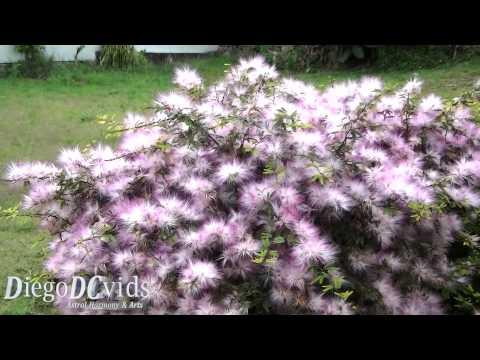 Calliandra brevipes - Pink Powderpuff (Fabaceae) Esponja, Esponjinha, Manduruvá