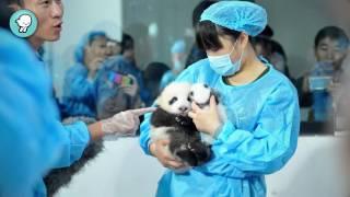 Breves: Osos Panda