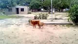 video porno canino