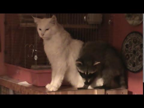 терпение кота не железное