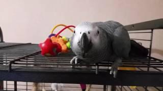 Поведение попугая Жако спустя полгода .