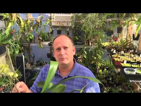 ORCHID CARE: THE SPIDER ORCHID IN FULL BLOOM BRASSIA DATACOSA CARE TIPS