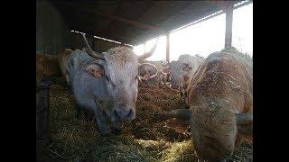 nourrissage journalier des vaches