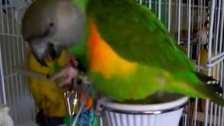 Senegal Parrot - Squishy Eating A Salad