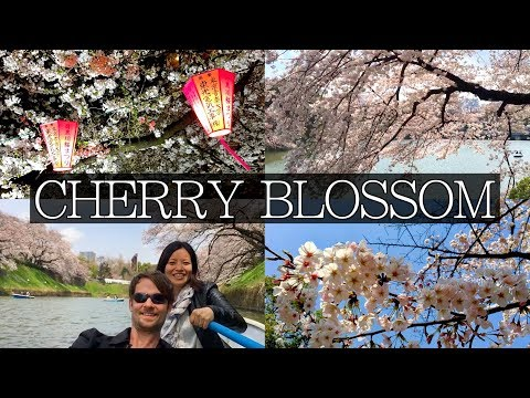 Cherry Blossom: How to Maximise your chances in Tokyo, Japan