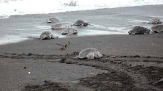 "Playa Ostional, Costa Rica: Olive Ridley sea turtle nesting, ""Arribada"""