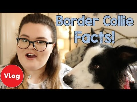 7-border-collie-breed-facts!-everything-you-need-to-know-about-border-collie-personality-and-traits!