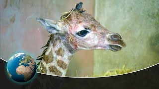 Cute & curious little fur friends - The birth of baby giraffe Mugambi