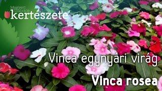 Vinca egynyári virág - Vinca rosea - Catharanthus roseus - Megyeri Kertészet Győr - növényrendelés