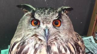 Cries of horned owl.
