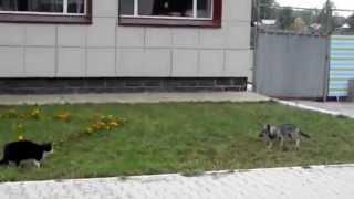 Драка кота и собаки