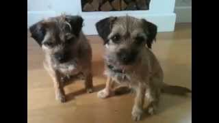 This Video Previously Contained A Copyrighted Audio Track. Due To A Claim By A Copyright Holder, The Audio Track Has Been Muted.     Amazing Dog Tricks Performed By Hazel And Bramble