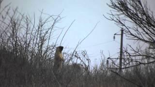 Bobak marmot in NationalPapk Dvorychanski Степной сурок в национальном парке Двуречанский