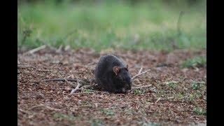 Growing rat colony at Emmarentia Dam