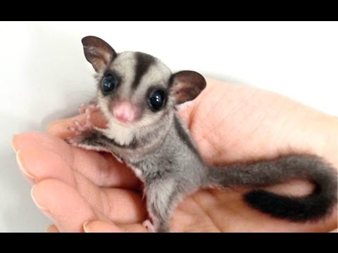 Sugar Glider – A Funny And Cute Sugar Glider Videos Compilation || NEW HD