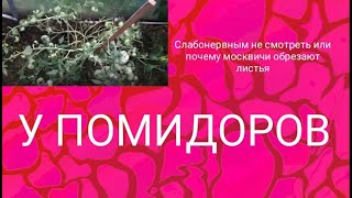 Фото Слабонервным не смотреть или почему москвичи обрезают листья у помидоров