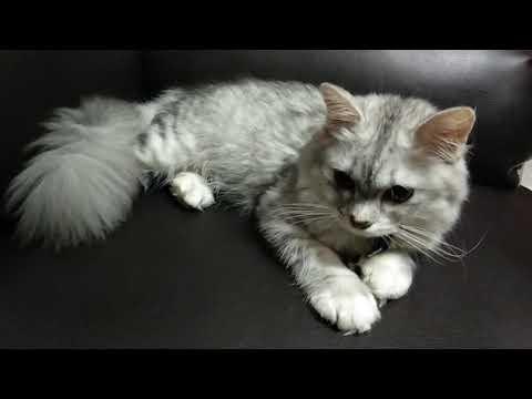 3 MONTH OLD NORWEGIAN MIX CAT - CALM CAT