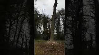 oak tree felling