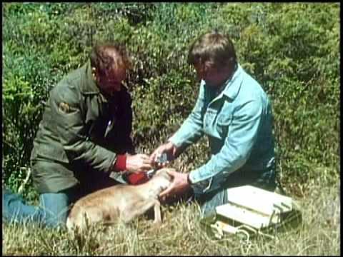 Woodland Caribou of Newfoundland