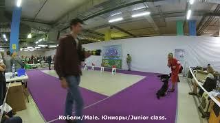 Национальный Чемпионат Вельш Корги Кардиган. Москва, 29 апреля 2018 г. Кобели.