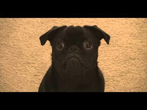 Niles the Pug 'Hello' Adele Cover