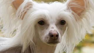 Chinese Crested  Dog Breed  Pet Friend