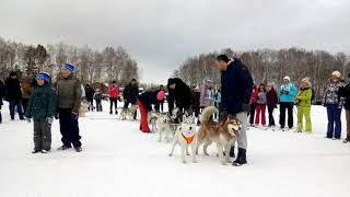 Собаки на «Лыжне России — 2019»